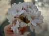 Sakura06_016